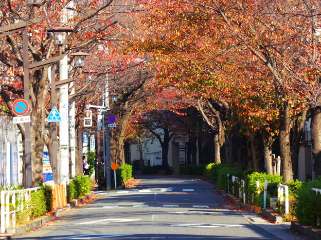 秋の立会道路の桜並木(1)