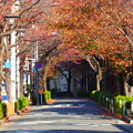 Photos: 秋の立会道路の桜並木(1)