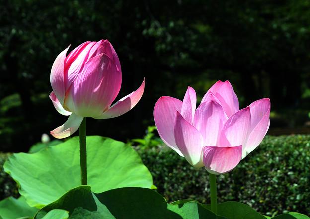 鮨芳・7月・神代植物公園・ (1)