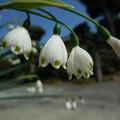 写真: 春が来た スノーフレーク