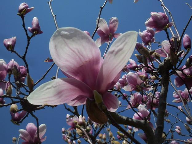 春が来た 紫モクレン
