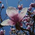 写真: 春が来た 紫モクレン
