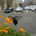 写真: キバナコスモスにアゲハ