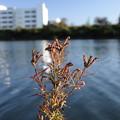 写真: タコノアシ