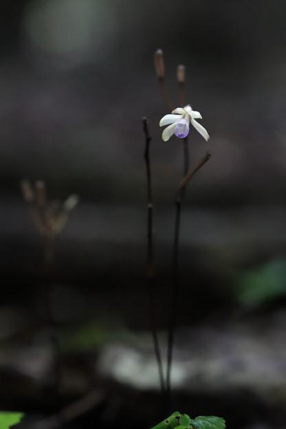 トサノクロムヨウラン