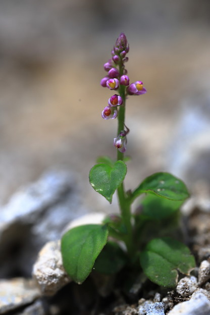 ヒナノキンチャク(開花)