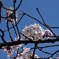 Photos: 晴天の桜