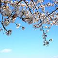 Photos: 渡良瀬旧川の桜