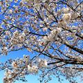 Photos: 渡良瀬旧川の桜2
