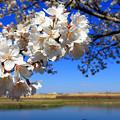 渡良瀬旧川の桜5