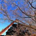Photos: SL大樹 さくらまつり