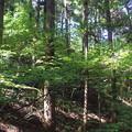 088 下山路のカラマツ林