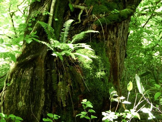5.20-118 巨木の幹に着生する羊歯の仲間