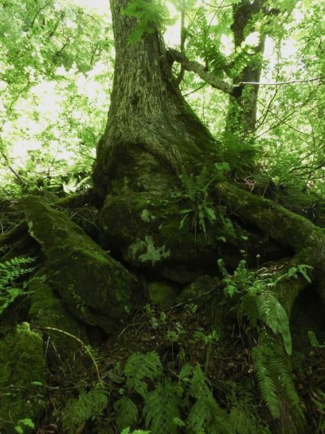 5.20-119 岩を抱え込む樹木
