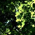 5.20-121 楓と栃の葉陰