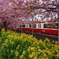 写真: 河津桜と菜の花と京急