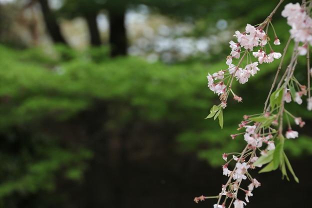 ちと 遅かったかな 枝垂れ桜