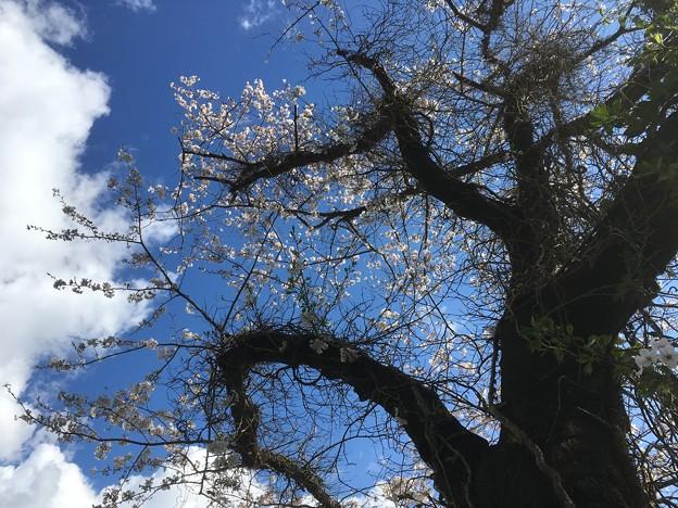 源泉小屋の桜