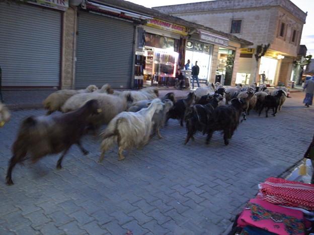 5/1ミディヤットの街中を疾走する羊
