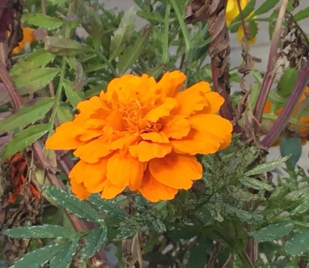 Photos: 花は橙色