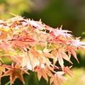 写真: 紅葉の紅葉