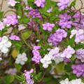 Photos: 三色の花