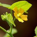 Photos: 外来植物