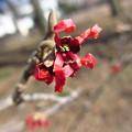 写真: 紅花のマンサク