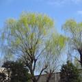 Photos: 春の柳