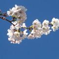 Photos: 青空にサクラ