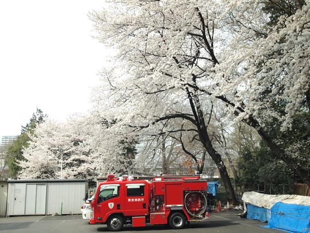 消防自動車と桜