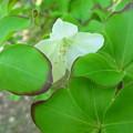 シロヤシオの花と葉