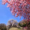 写真: 桜満開♪