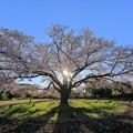 Photos: 成田の桜