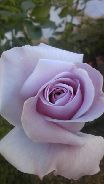 バラは勿論綺麗です。5分咲きくらいかな~。