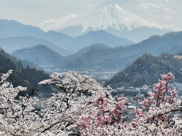 Photos: 桜散る春の富士