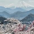 桜散る春の富士