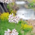 春の小川(1)2016