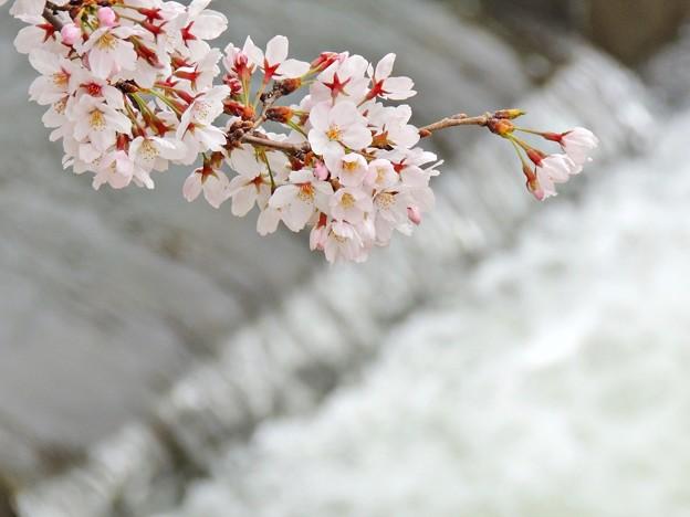 春の小川(2)2016