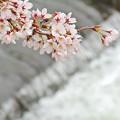 Photos: 春の小川(2)2016