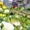 写真: バラの季節(白)