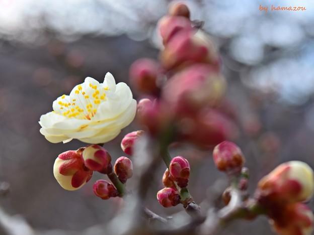 Photos: 梅(2018)