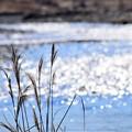 写真: 冬すすき