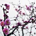 写真: 梅咲く頃