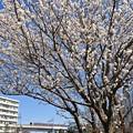 写真: 桜日和の休日