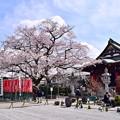 お寺の彼岸桜