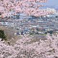 写真: 春満開の沿線