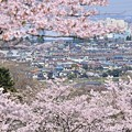 春満開の沿線