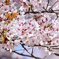 写真: 春満開