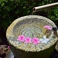 写真: 手水鉢の花舟